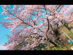 九州の桜は満開でした!